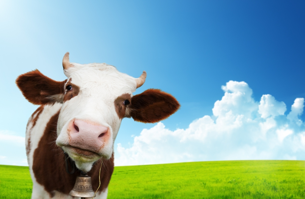 A black and white cow gazes at you, head cocked.  Cows were used in the past for milk and butter, so this can be a great source of telling details in your novel.